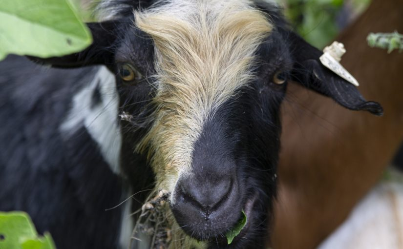 "Goats called in for weed control, and, yes, we put a ""Goat Cam"" on a goat named Blu"